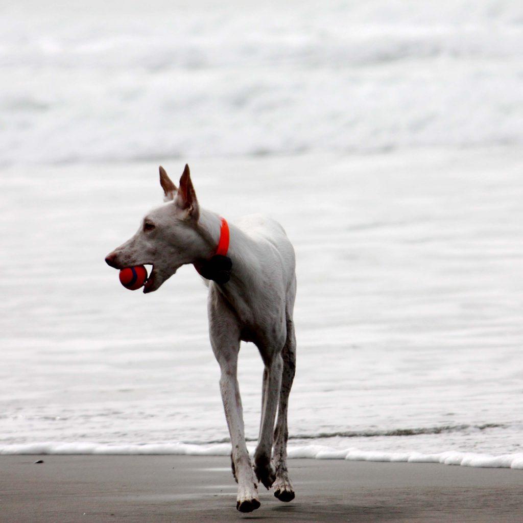 Albino dog with ball