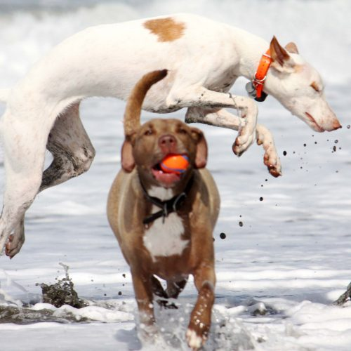 Albino Dogs Jumping